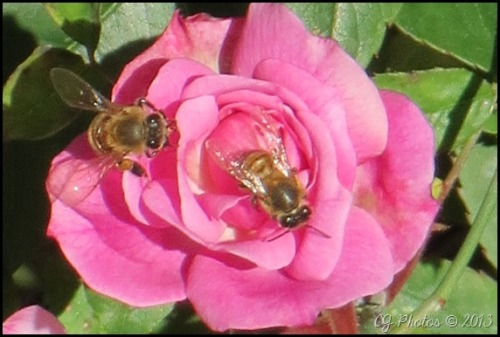 Two bees share the nectar of a lovely pink rose.
