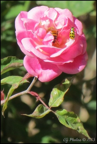 A cucmber beetle relaxes on the petals of a pink rose as a bee decides to go to work.