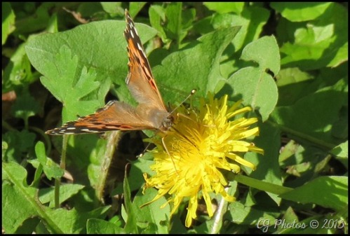 A painted lady butterfly enjoys dandelion nectar before heading back on its migratory path.